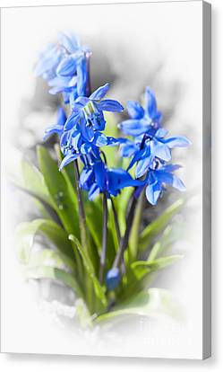 Spring Blue Flowers Wood Squill Canvas Print by Elena Elisseeva
