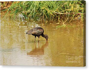 Glossy Ibis  Canvas Print by Kathy Gibbons