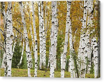 Golden Birches Canvas Print