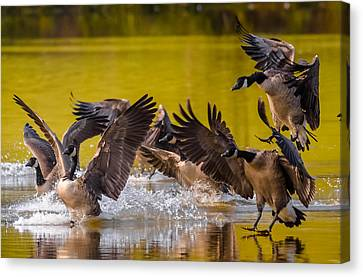 Golden Geese Canvas Print by Brian Stevens