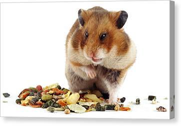 Golden Hamster Canvas Print by Jane Burton
