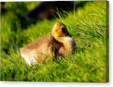 Gosling In Spring Canvas Print by Paul Ge