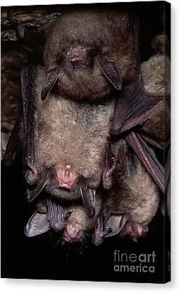 Gray Bats Canvas Print by Dante Fenolio