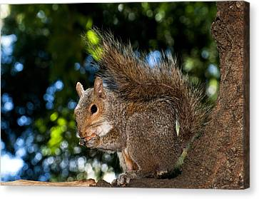 Gray Squirrel Canvas Print by Fabrizio Troiani