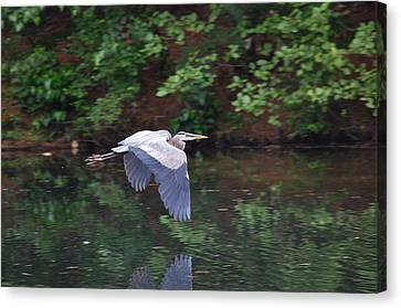 Great Blue Heron Flying Low Canvas Print by Mary McAvoy