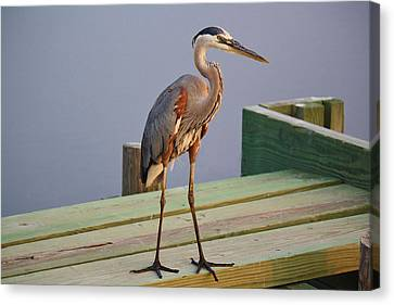 Great Blue Heron On The Block Canvas Print by Paulette Thomas