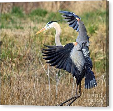 Great Blue Heron Canvas Print by Ursula Lawrence
