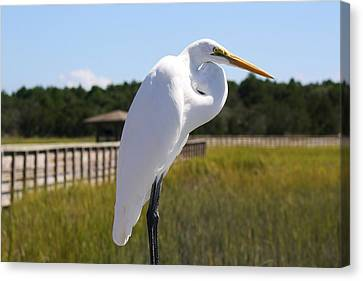 Great White Egret In The Marsh Canvas Print by Paulette Thomas