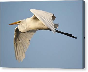 Great White Egret  Canvas Print by Paulette Thomas