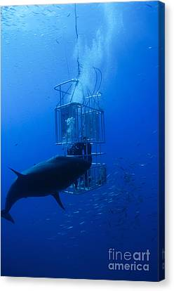 Cage Diving Canvas Print - Great White Shark And Divers, Guadalupe by Todd Winner