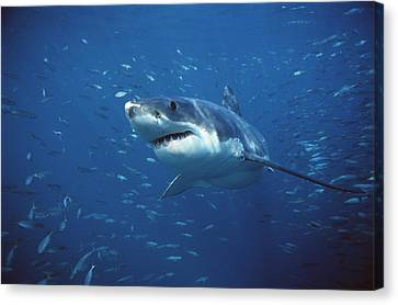Great White Shark Carcharodon Canvas Print