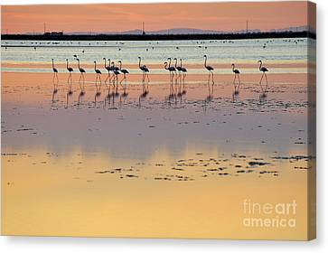 Greater Flamingos In Pond At Sunset Canvas Print by Sami Sarkis