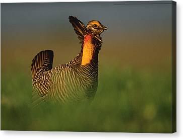 Greater Prairie Chicken Male Canvas Print by Tim Fitzharris