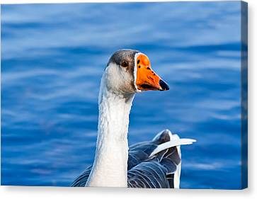 Greater White-fronted Goose 2 Canvas Print by Ann Murphy