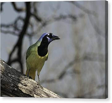 Canvas Print featuring the photograph Green Jay by Betty Depee