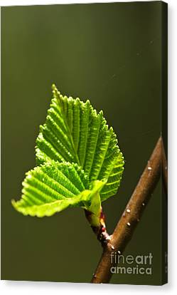 Green Spring Leaves Canvas Print by Elena Elisseeva