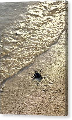 The Hatchery Canvas Print - Green Turtle Hatchling by Matthew Oldfield