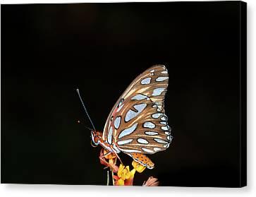 Gulf Fritillary Butterfly Canvas Print by Jim McKinley