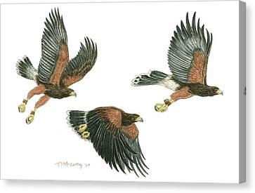 Harris Hawk Cast Canvas Print by Tim McCarthy