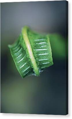 Hart's Tongue Fern Unfurling Canvas Print by Colin Varndell