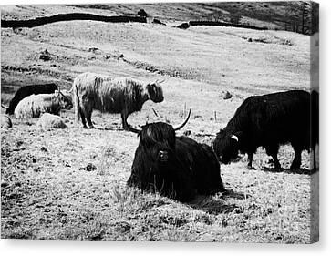 Herd Of Red And Black Highland Cattle Glencoe Highlands Scotland Uk Canvas Print by Joe Fox