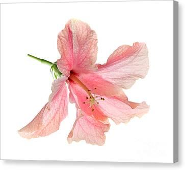 Hibiscus Canvas Print by Nicholas Burningham