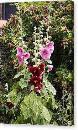 Althea Canvas Print - Hollyhock (alcea Rosea) by Dr Keith Wheeler