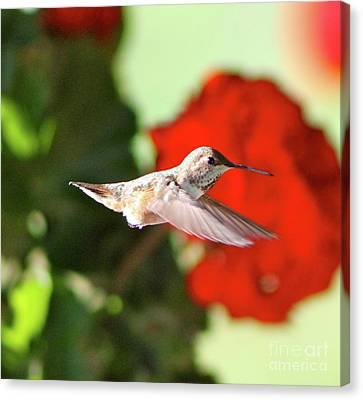 Hummingbird 4 Canvas Print