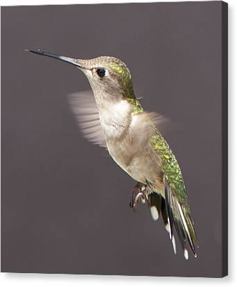 Hummingbird Canvas Print by John Crothers