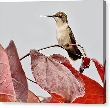 Hummingbird Canvas Print by Paulette Thomas