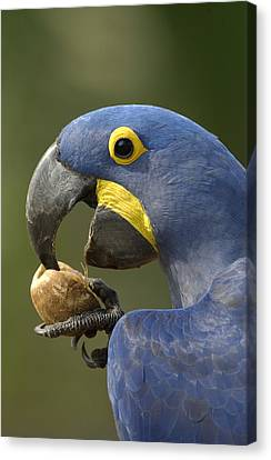 Hyacinth Macaw Anodorhynchus Canvas Print by Pete Oxford