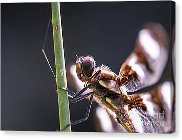 Dragonfly Eyes Canvas Print - I See You by Scotts Scapes
