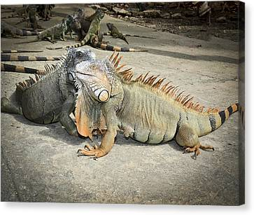 Canvas Print featuring the photograph Iguana Family by Nick Mares