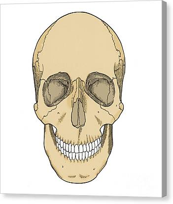 Illustration Of Anterior Skull Canvas Print by Science Source