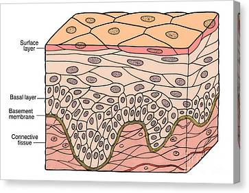 Illustration Of Stratified Squamous Canvas Print by Science Source