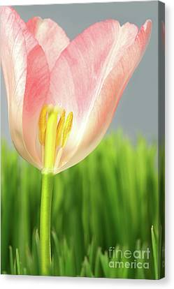 Inside Of A Pink Tulip Canvas Print by Sandra Cunningham