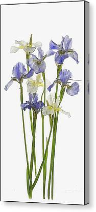 Irises In Blue And Yellow  Canvas Print