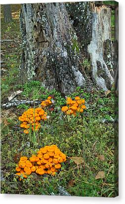 Jack Olantern Mushrooms 16 Canvas Print by Douglas Barnett