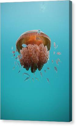 Jelly Fish Canvas Print by Scott Portelli