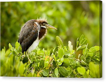 Juvenile Tricolored Heron Egretta Canvas Print