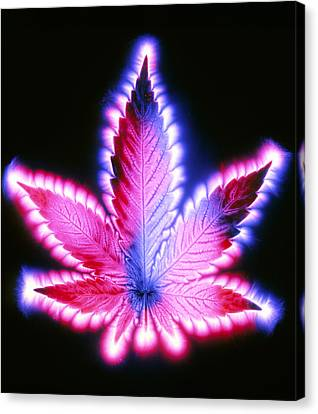 Kirlian Photograph Of A Leaf Of Cannabis Sativa Canvas Print by Garion Hutchings