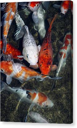 Koi Carp In A Pond Canvas Print