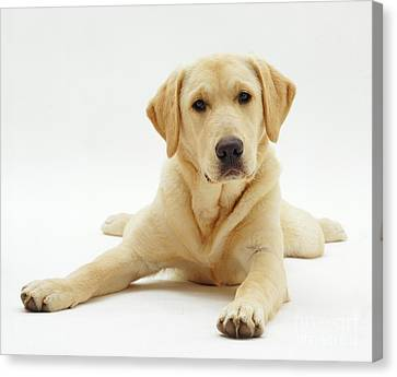 Labrador X Golden Retriever Puppy Canvas Print by Jane Burton