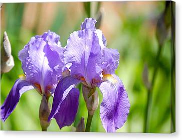 Lavender Iris I Canvas Print by Mary McAvoy