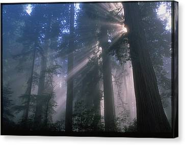 Light Coming Through Redwood Trees. Canvas Print by Kaj R. Svensson