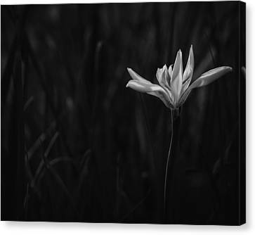Lily Canvas Print by Mario Celzner