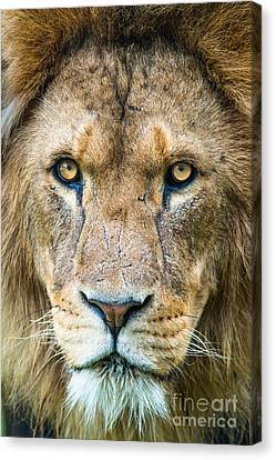 Lion Canvas Print by Andrew  Michael