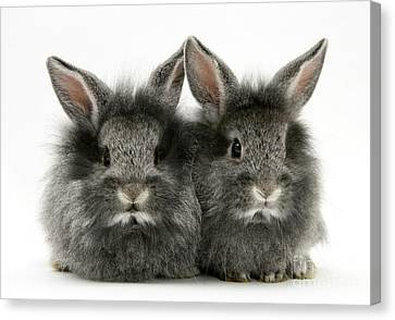 Lionhead Rabbits Canvas Print by Jane Burton