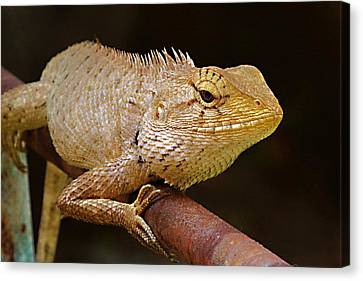 Canvas Print featuring the photograph Lizard by Arik S Mintorogo