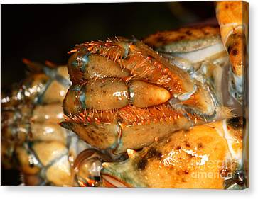 Lobster Mouth Canvas Print by Ted Kinsman
